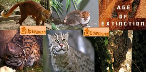 Gambar 5 Jenis Kucing Di Indonesia Yang Terancam Punah - Upayawan