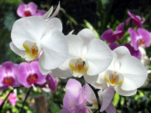 Flower Meanings Orchid