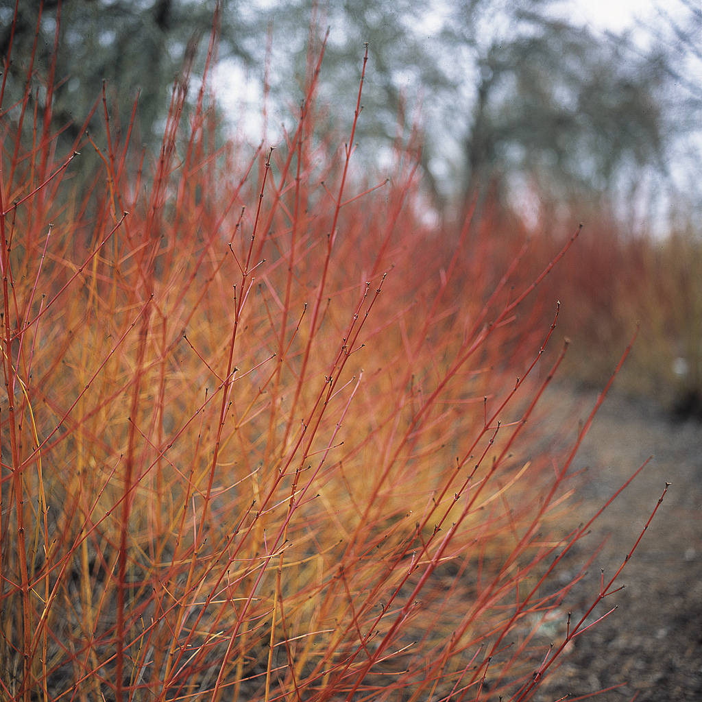 The british gardener the tropical years damn good for Red twig dogwood