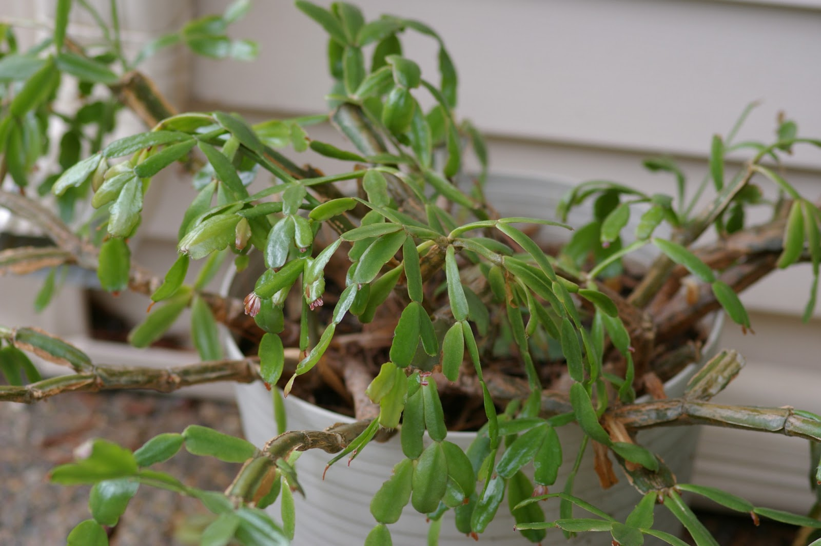 how to grow christmas cactus from cuttings