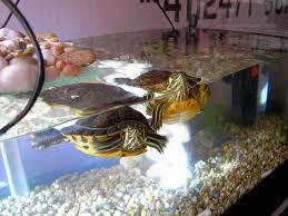 Somos tortugueros tortugas de agua dulce for Acuario tortugas
