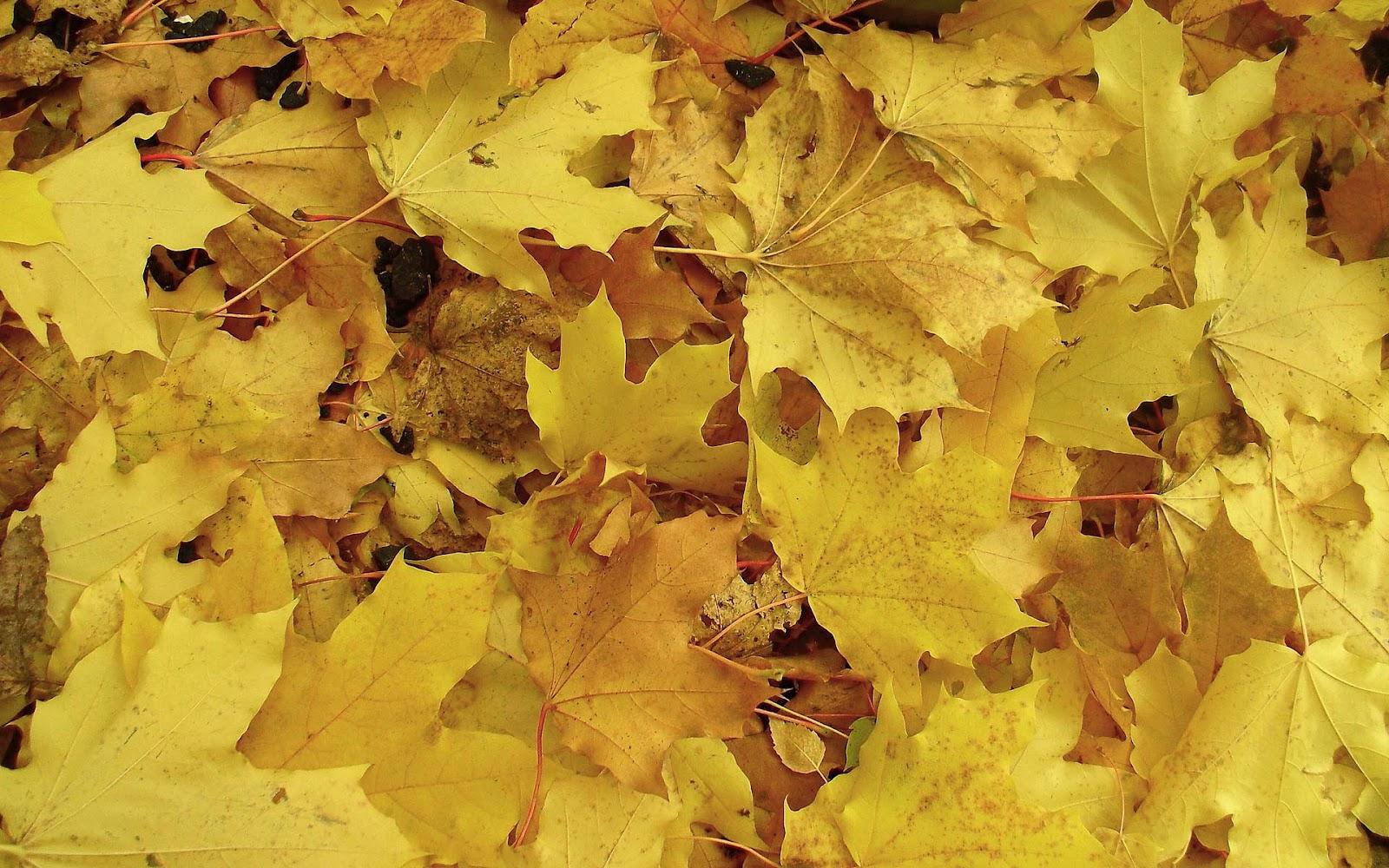 http://3.bp.blogspot.com/-SEiMxlQqVHc/UF9pgSUpKGI/AAAAAAAADj0/g-hwCAVWiOU/s1600/hd-herfst-wallpaper-met-gele-herfstbladeren-op-de-grond-hd-herfst-achtergrond-foto.jpg