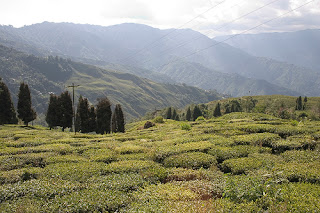 Happy Valley Estate Darjeeling