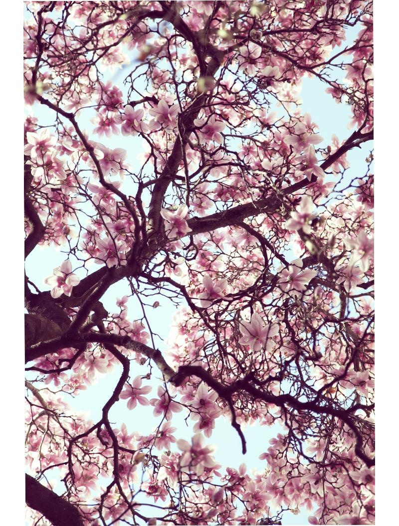 magnolia en fleur