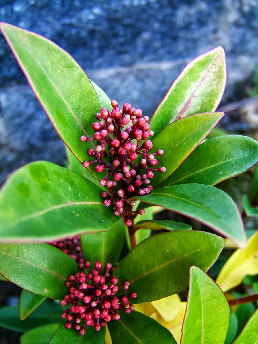 Piante e fiori skimmia dai fiori color crema e dalle for Skimmia pianta