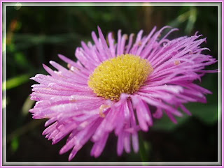 Erigeron Rose Jewel