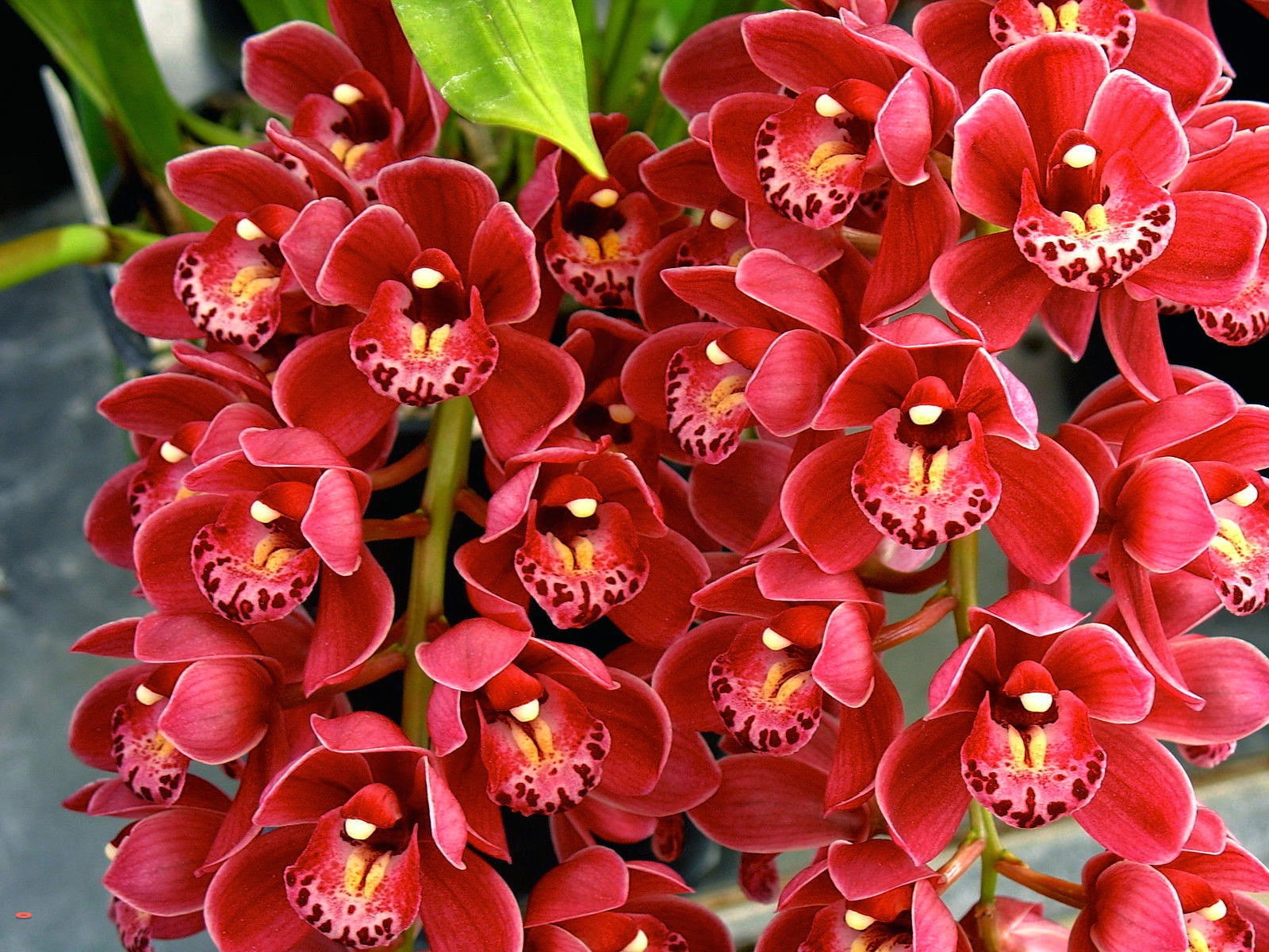 Cymbidium Orchids New Flowering Season in addition Whats Your Birth Orchid in addition  further Pro further Brassia Miltassia Royal Robe. on cymbidium orchids are blooming