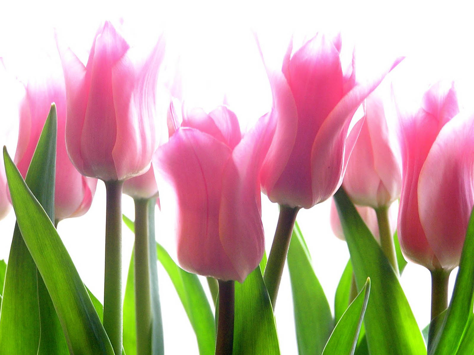 Pink Tulip Flower Pictures  2013 Wallpapers