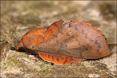 Augļkoku vērpējs (Gastropacha populifolia)