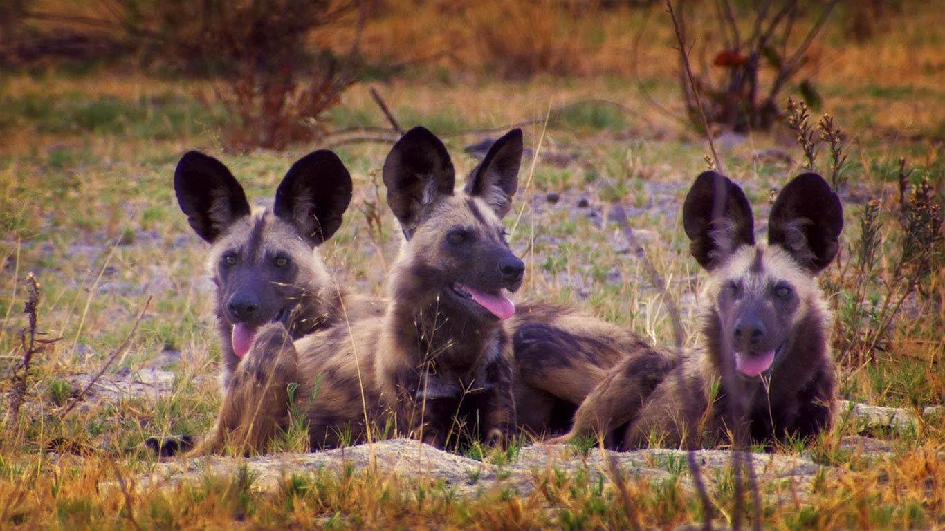 Wild dogs in Botswana (© Getty Images) 325