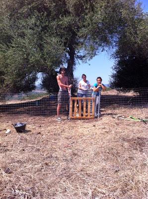 Fanbo, Giulia e Fre nel recinto ultimato attorno all'olivastro nella campagna di Monte Pedru, Perfugas, Sassari, Sardegna