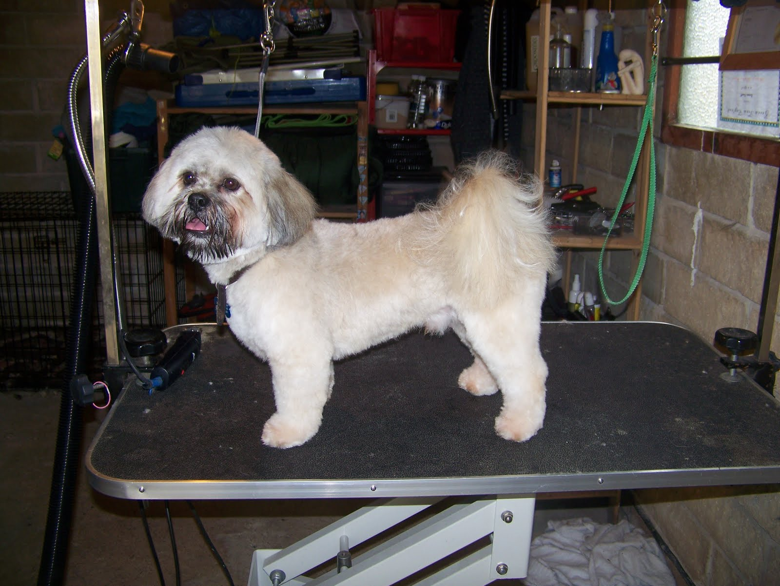 Blissful Dog Grooming Dougal Lhasa Apso