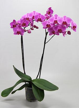 fleuriste isabelle feuvrier offrez une orchid e pour la m moire. Black Bedroom Furniture Sets. Home Design Ideas