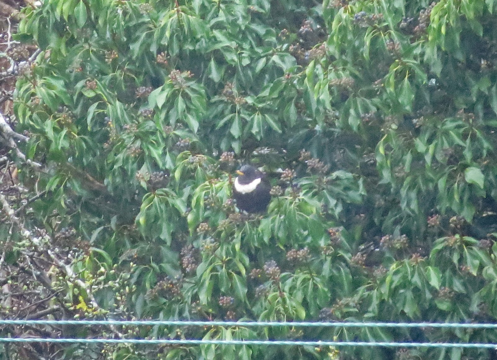 Ring Ouzel - The Great Orme