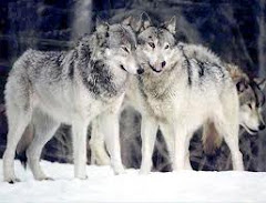I am not sure why but all my life I have had a great respect for these guys, I love wolves