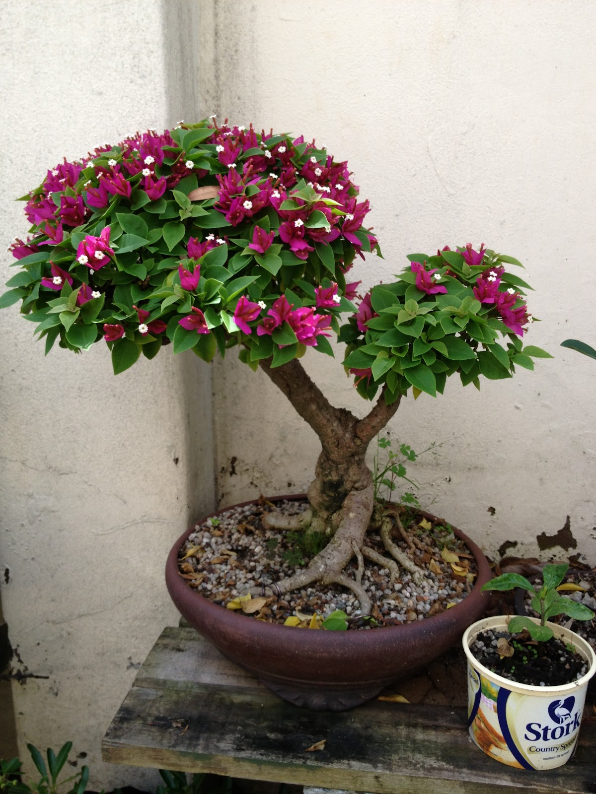 BORDER BONSAI SOCIETY Flowering Bougainvillea