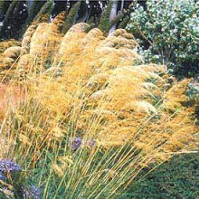 Stipa gigantea-Giant Feather Grass