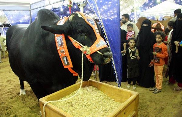 Super Highway cattle market ahead of Eidul Azha.