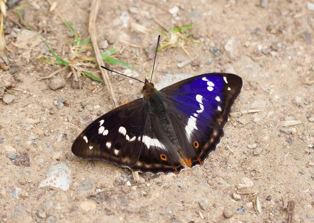 Purple Emperor - Fermyn Woods, Northamptonshire