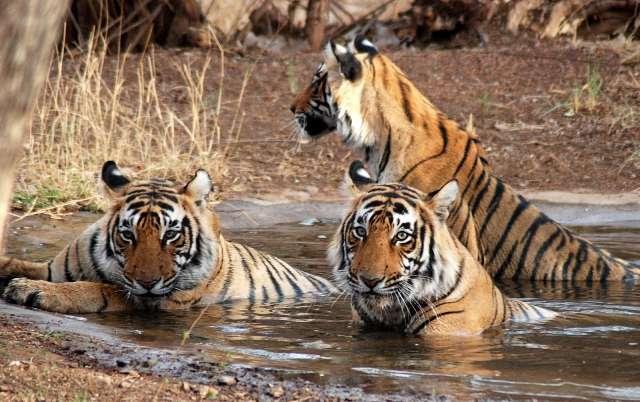 Bengal tiger at Jim corbett national Park