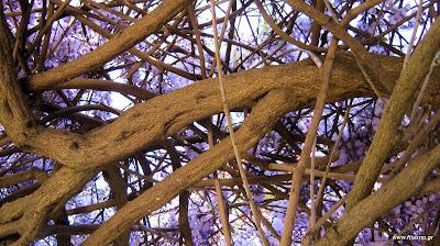 Πασχαλιά-δέντρο