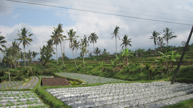 Cultivos en Bali