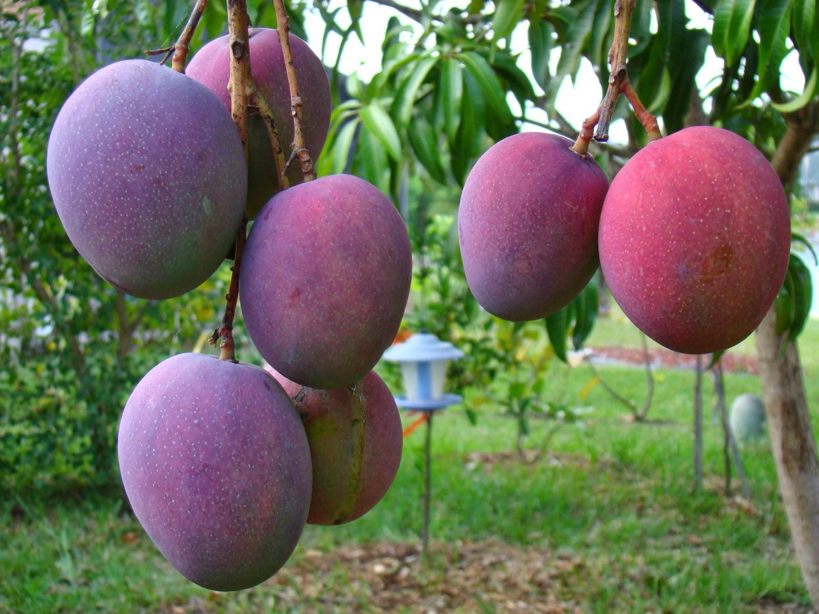 Acciona sembrar 100 rboles frutales en la comuna 10 de for Arboles de jardin que den sombra