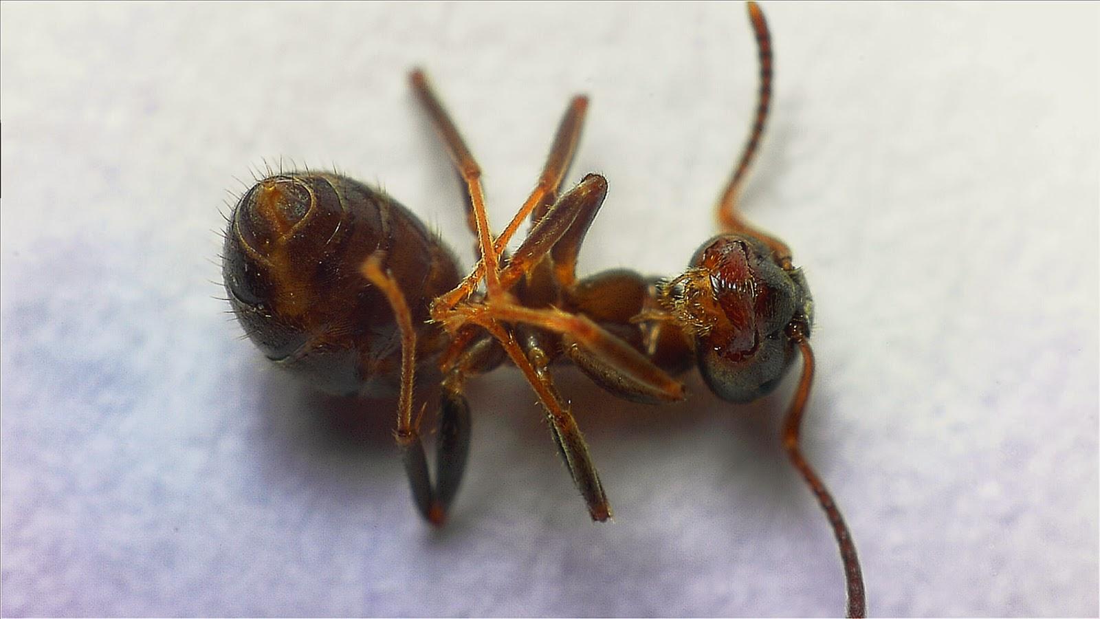 Mrówka zdjęcie web kamerą MS Lifecam Studio