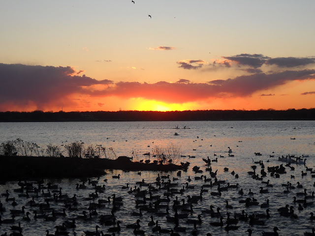 American Coots and Mallard ducks in Sunset Bay, White Rock Lake at sunset