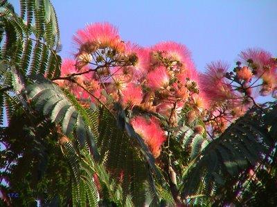 Arboles de los toldos for Imagenes de arboles ornamentales