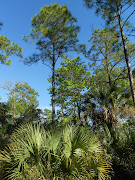 Florida Nature StudyExploring a New Habitat (slash pine florida)