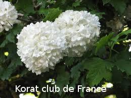 Viorne obier ou Rose de Gueldre ou Boule de neige