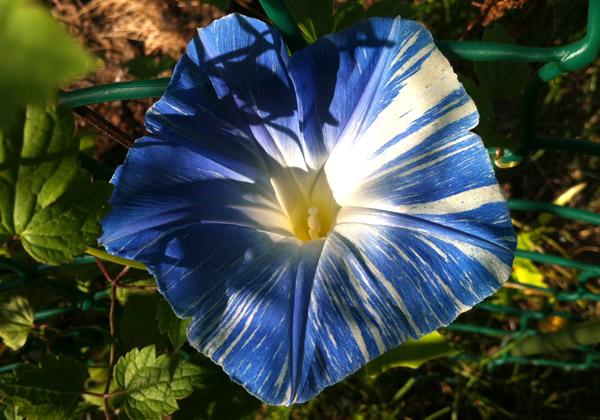 En närbild på blå- och vitstrimmig blomman för dagen
