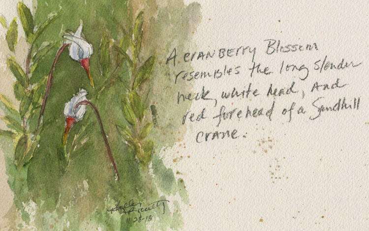 Cranberry (Vaccinium macrocarpon) blossoms watercolor painting