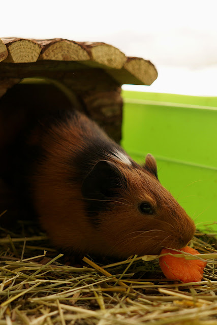 Маленькие морские свинки едят морковку.