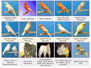 Foto Aneka Burung Kenari Harga Pasaran Burung Kicau Terbaru