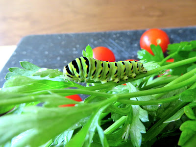 Swallowtail butterfly caterpillar on parsley