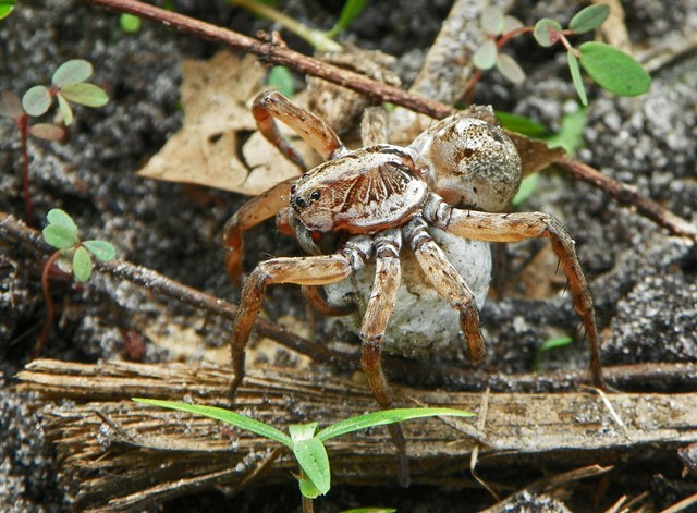 Bay friendly landscaping scary critters are haunting my garden for Garden spider egg sac
