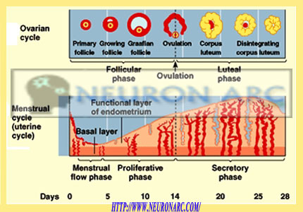 Menstrual Cycle / Uterine cycle (phases and hormonal control)