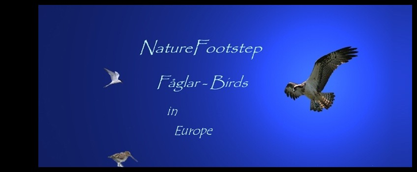 NatureFootsteps Fåglar / Birds blog