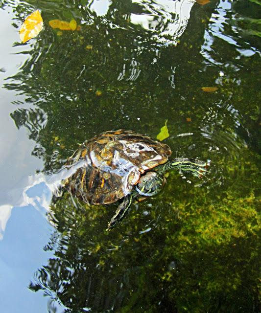 comouflaged turtle in pond