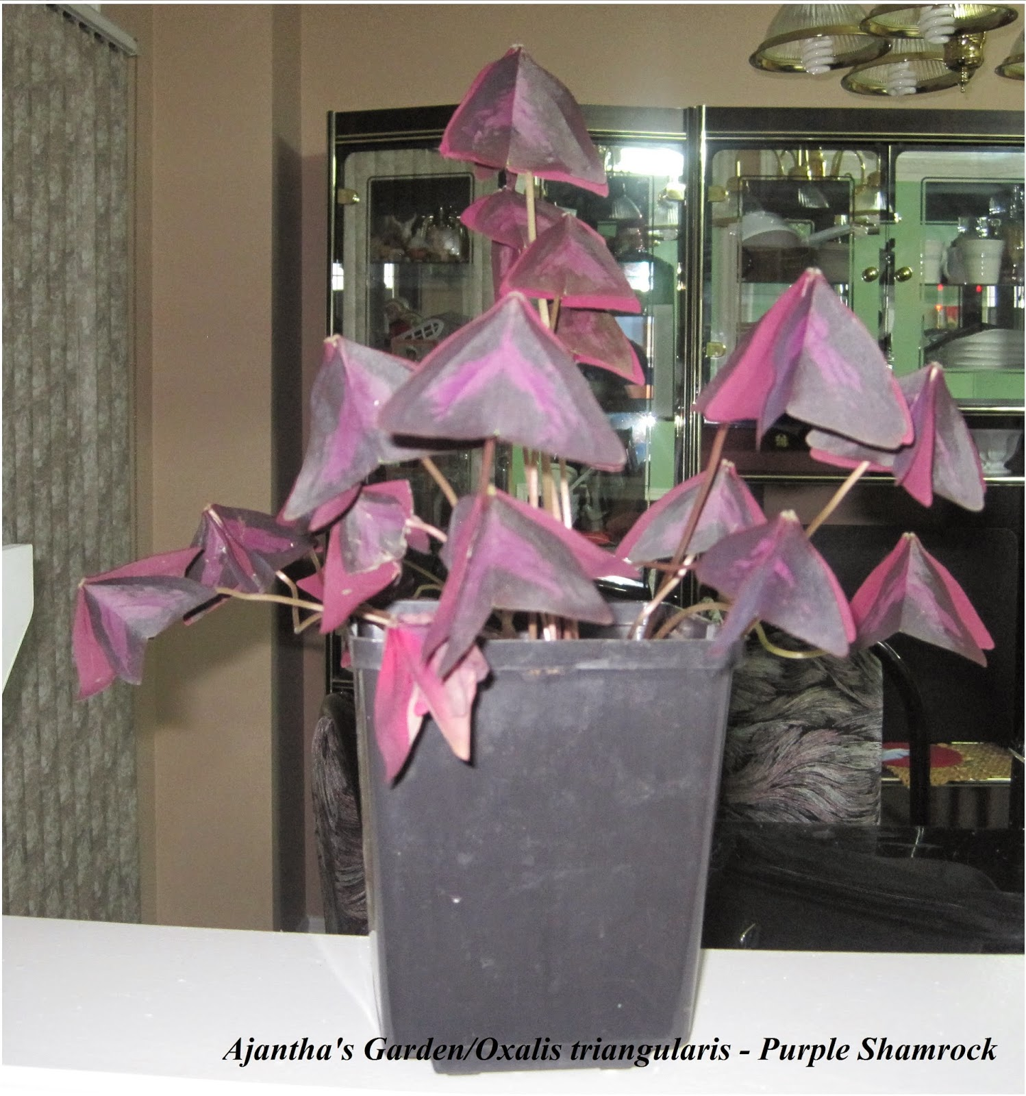Ajantha's Garden/Oxalic triangularis - Purple Shamrock