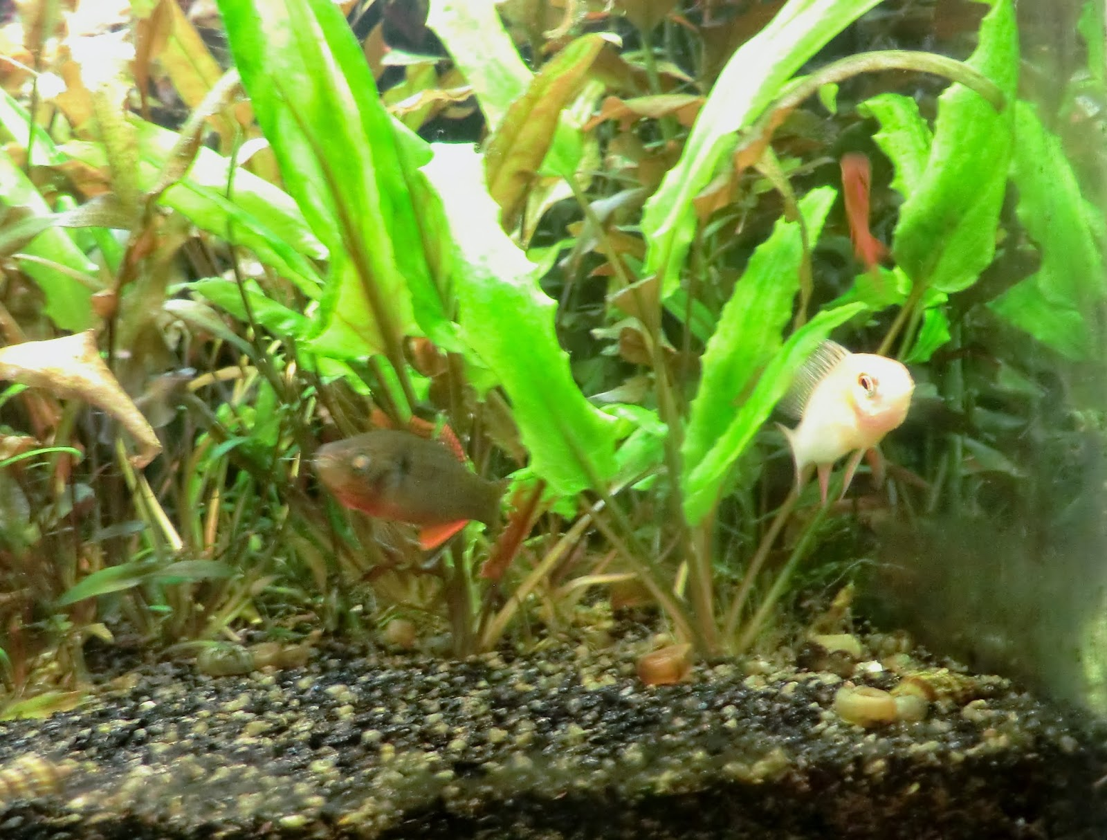 Mikrogeophagus, ramirezi, fish, love, forbidden, hypseleotris, compressa