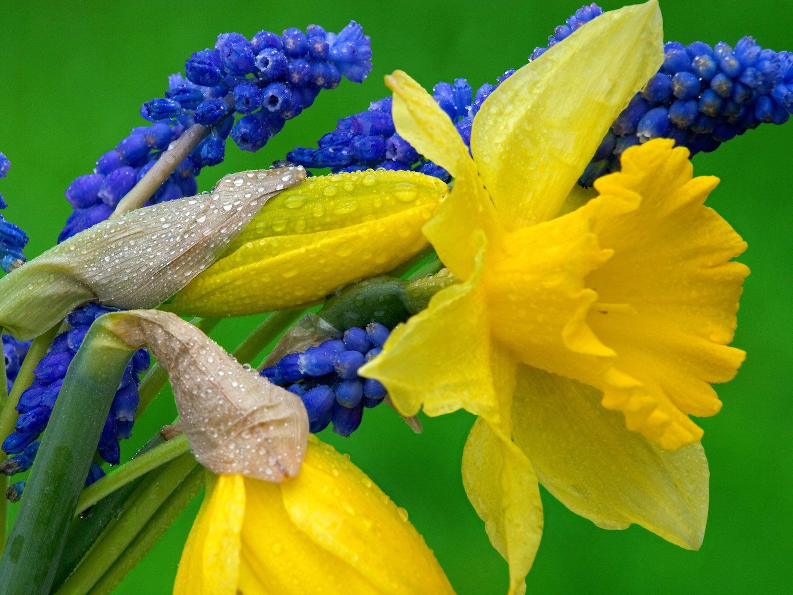 Flower Homes: Daffodil Flowers