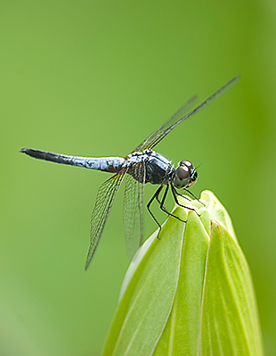 """Dragonfly"" captured by Fady."