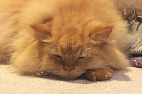 How much a Persian Cat Sleeps in a day?