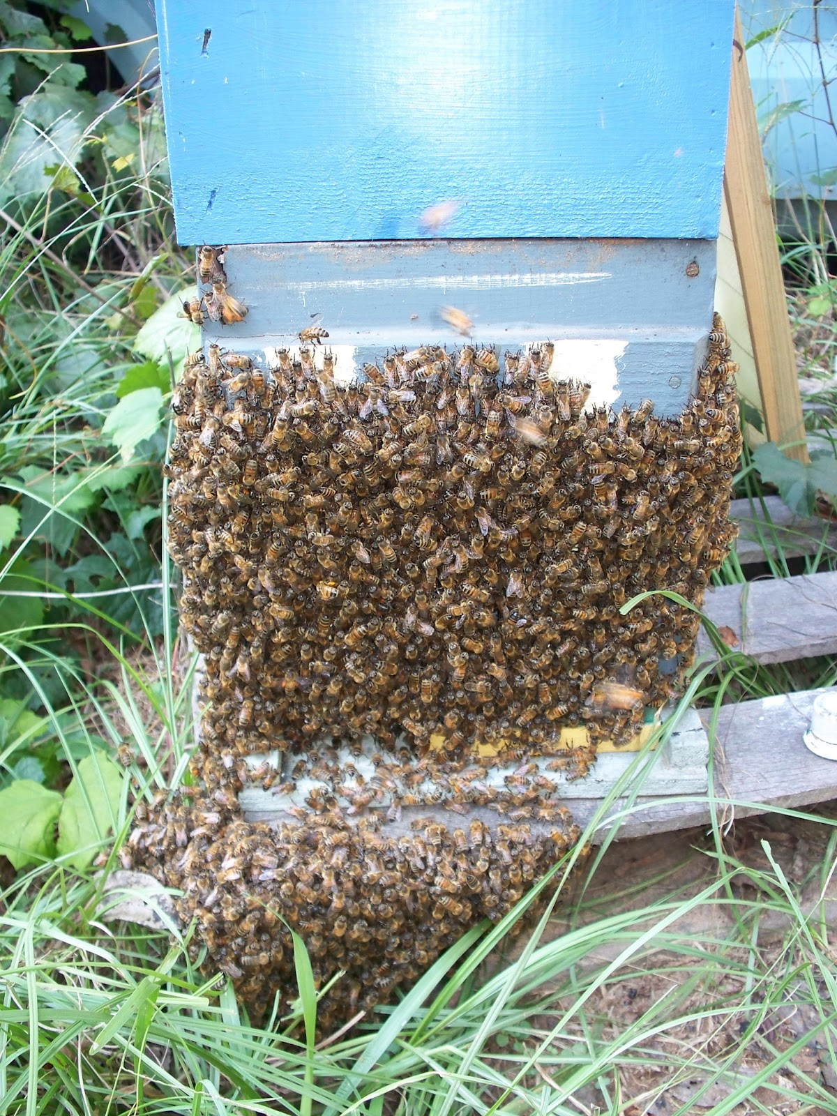 Ready to hive a strong, hopefully healthy bunch of Honey bees 'bearding' around a Nuc box & hive base