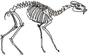 esqueleto de moschidae Blastomeryx