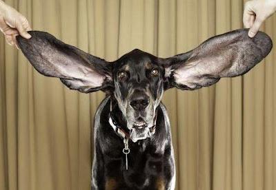 Foto del perro con las orejas más grandes del mundo