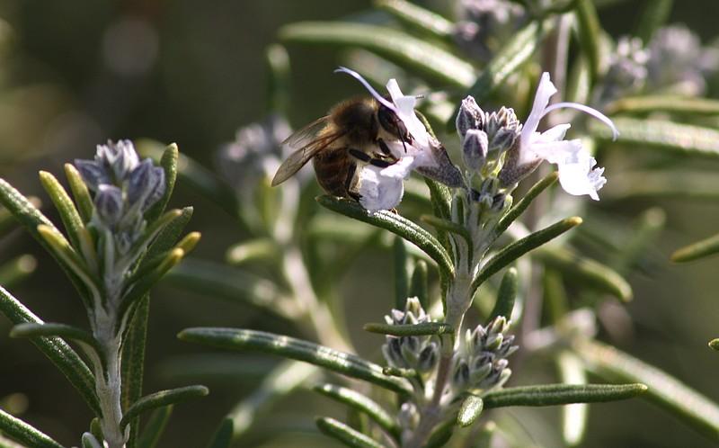 moments de partage abeille sur fleur de romarin. Black Bedroom Furniture Sets. Home Design Ideas